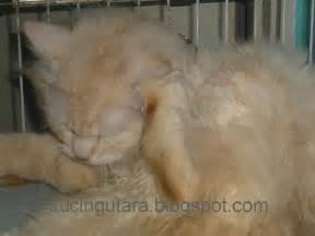 Minyak Vco Untuk Kucing kucing utara kebaikan minyak ikan kod untuk kucing