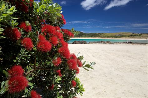 new zealand s christmas tree pohutukawa blooms at matai