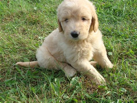 goldendoodle puppy book doodle stunning doodle puppies breeds
