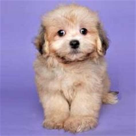lhasa poodle mix and poodles on pinterest 1000 images about lhasa poo on pinterest lhasa poodle