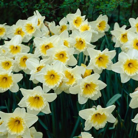 bloomsz daffodil follies flower bulb 8 pack 07541
