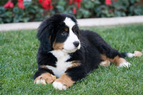 bernese mt bernese mountain temperament names rescue adoption