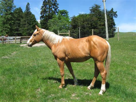 palomino quarterhorse color genetics