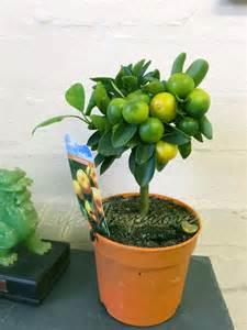 Growing Dwarf Fruit Trees In Containers - 1 dwarf standing calamondin citrus orange fruit tree indoor plant in pot ebay