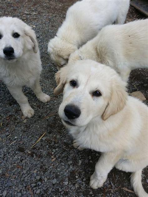 maremma puppies for sale maremma puppies for sale outside metro vancouver vancouver