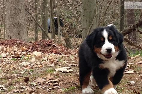 bernese mountain puppies for sale near me bernese mountain for sale for 1 200 near grand rapids michigan 42d9b654 d631