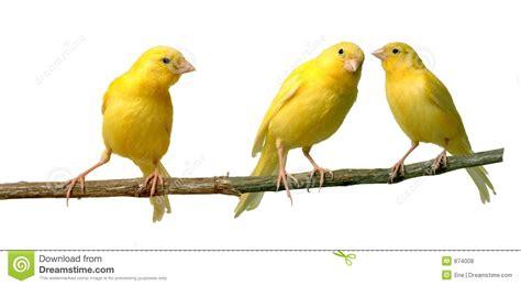 rhinelander canaries stock photo royalty canaries royalty free stock photos image 874008