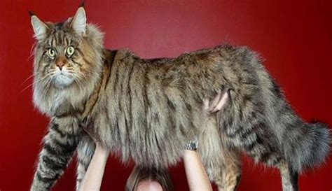 giant house cats giant house cat breed cats types
