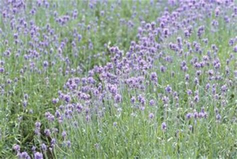 how to care for lavender plants in the winter home guides sf gate