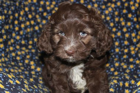 cockapoo puppies for sale in nj pin by network34 on cockapoo puppies for sale