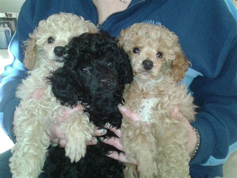 mini poodle for sale beautiful poodles for sale middlesbrough