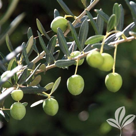 tree plant arbosana olive tree oliars08b the home depot