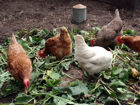 backyard poultry farming in india benefits of herbs for chicken health the poultry guide