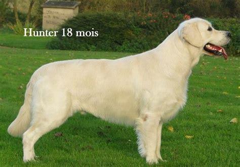 prix golden retriever accueil elevage born of eternal eleveur de chiens golden retriever