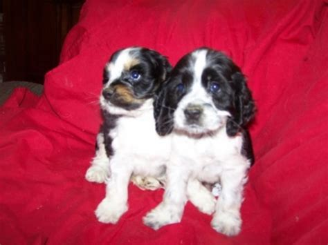 puppies for sale in redding ca rottweiler puppies for sale redding ca photo