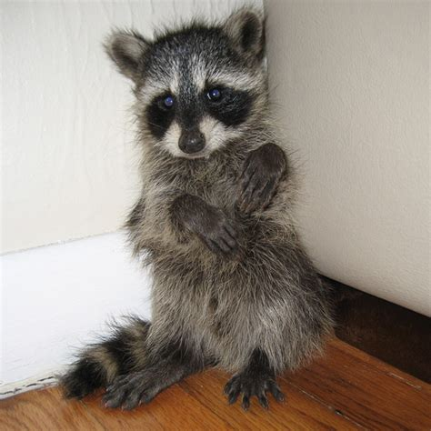 baby marder baby raccoon photos raccoon photographs pictures