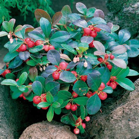 fiori di inverno gaultheria procumbens fiori da balcone inverno