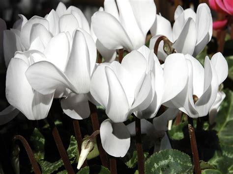 linguaggio dei fiori ciclamino linguaggio dei fiori giardinaggio mobi