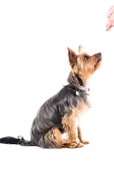 best way to a yorkie puppy 6 best ways to your terrier reference