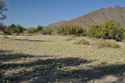 i fiori deserto le piante da fiore non succulente vivono nel deserto