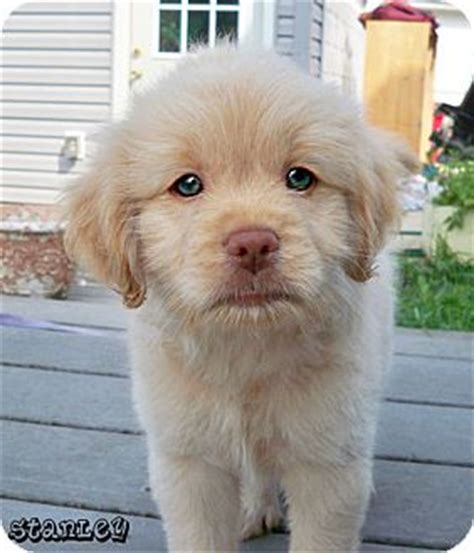 labrador shih tzu mix stanley adoption pending adopted puppy brighton mi shih tzu labrador retriever mix
