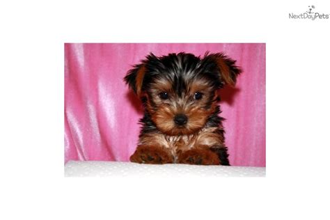 micro pocket puppies micro pocket tiny teacup yorkie puppies for sale image 1 picture breeds picture
