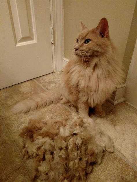How To Get Mats Out Of Cat Fur by 15 Pics That Perfectly Sum Up A Pet The