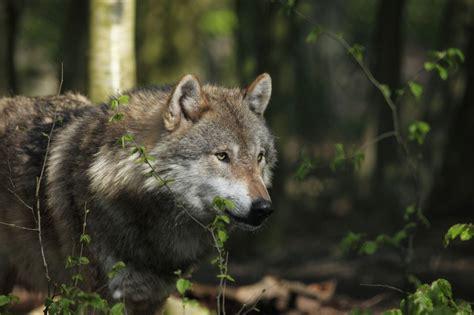 wilki wrocily  puszczy kampinoskiej wilki  kampinoskim