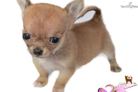 chihuahua puppies for sale in ma chihuahua puppy for sale near worcester central ma massachusetts 5f83a4e2 a491