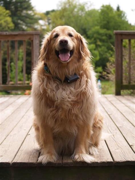 golden retriever grooming tips 139 best images about golden retriever grooming on the golden mud rooms