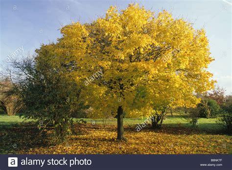 Japanischer Ahorn Kaufen 117 by Hilliers Arboretum Hshire Ahorn Acer Platanoides