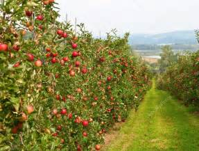 apple garden stock photo 169 nataliglado 5245807