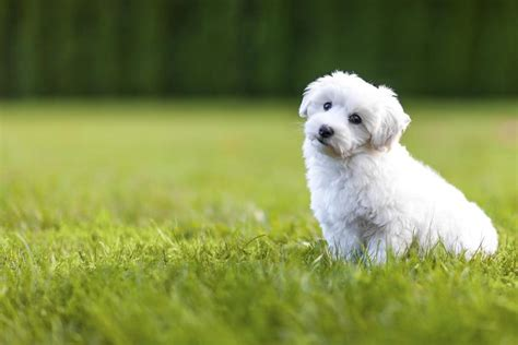 Does A Bichon Frise Shed by A List Of Small Dogs That Don T Shed But True