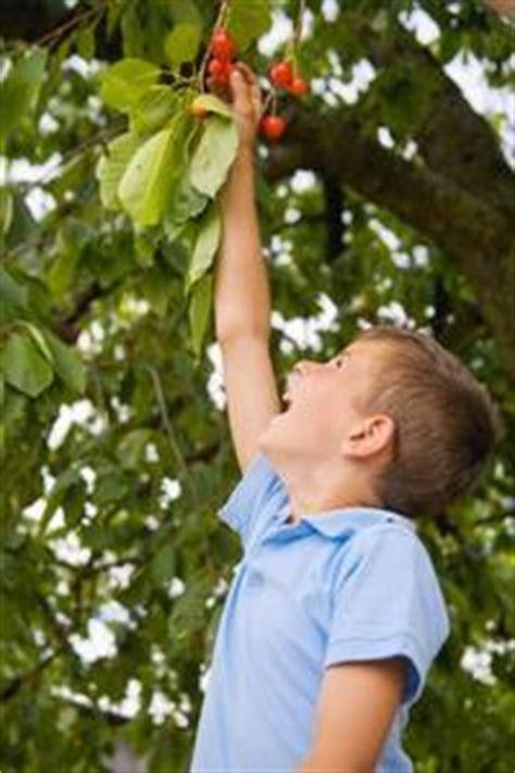 Faire Pousser Un Cerisier à Partir D Un Noyau by Comment Faire Pousser Un Cerisier De Semences Article