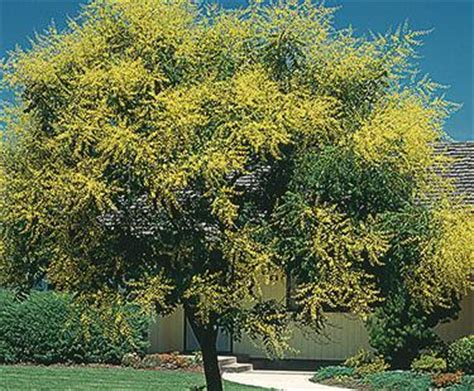 common backyard trees common name golden rain tree botanical name koelreuteria