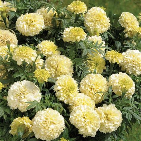 marigolds shade next year i want white marigolds deer resistant gardens