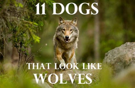 wolf looking dogs 11 dogs that look like wolves