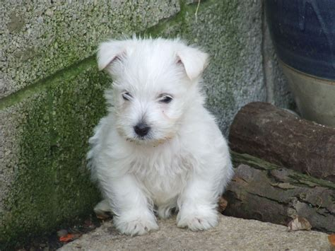 west highland puppies for sale west highland puppies for sale knottingley west pets4homes