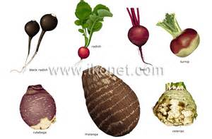 What Is Root Vegetables - food and kitchen gt food gt vegetables gt root vegetables image visual dictionary