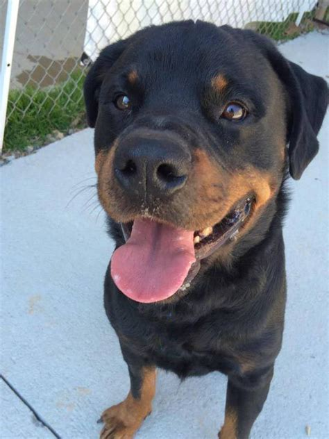 southern states rescued rottweilers southern states rescued rottweilers