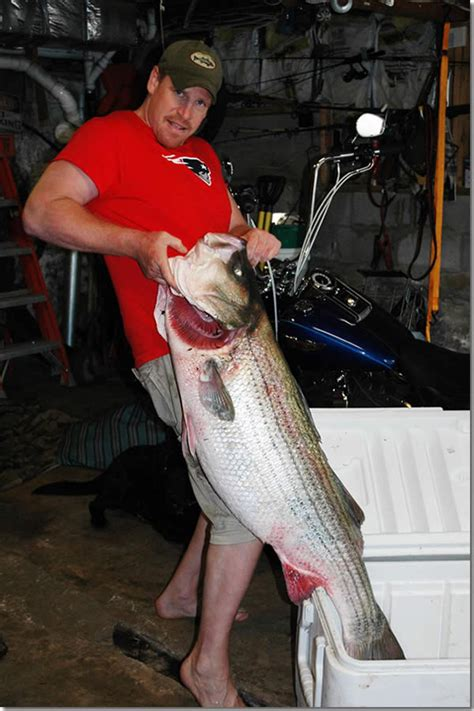 pounds in ct striped bass fishing 81 pound striper on in ct