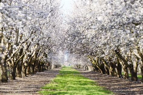 tree farms near sacramento an almond tree farm with blooming near sacramento stock photo colourbox