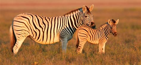 zebra pattern meaning zebra facts and symbolic meaning on whats your sign