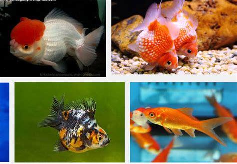 Jenis Pakan Ikan Koki cara budidaya ikan koki
