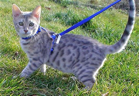 how to your to walk on a lead how to your cat to walk on a leash cat