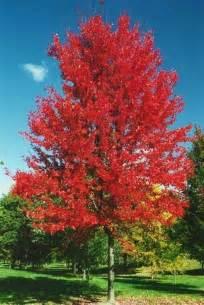 chicago illinois landscaping buy autumn blaze maple