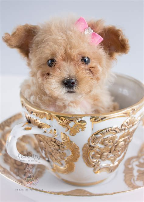 poodle for sale for sale 243 teacup puppies black poodle puppy teacups puppies boutique