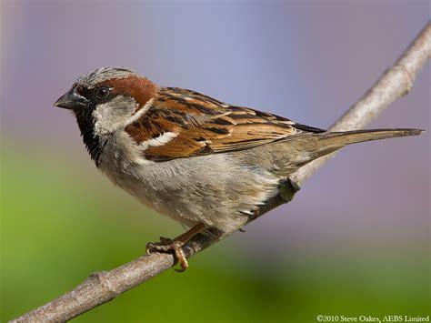 house sparrow house sparrow