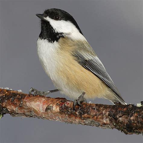 state birds maine me state bird list of 50 state birdes of the