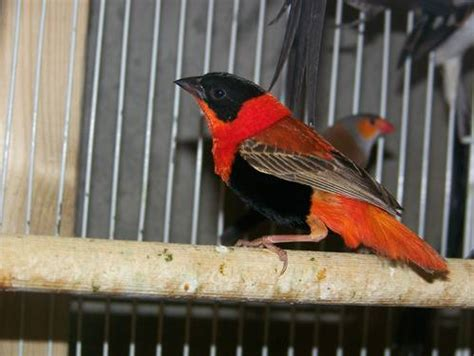 orange weaver red bishop weaver for sale fort worth usa free classifieds muamat